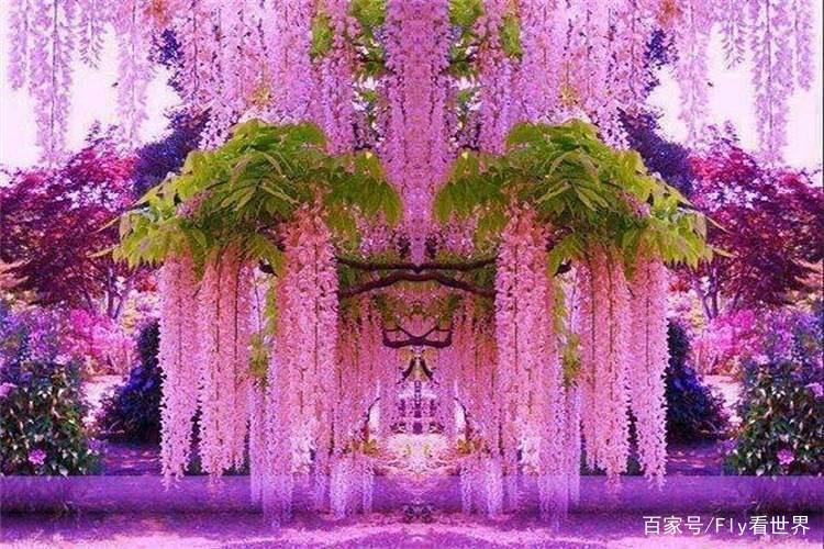 日本最大的藤园,有着150岁的大紫藤,宛如鲜花瀑布