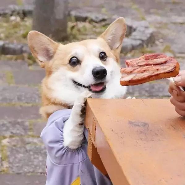 小柯基愛吃肉,一上車就變「碎肉基」:我的肉呢?-Dog Time
