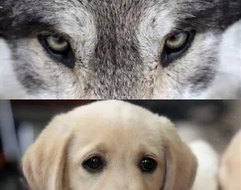 狗狗的无辜眼是进化而来?专家:没错,但有一种狗除外