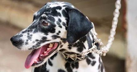 斑点狗打破世界记录,它一口气连生19只宝宝,动用了8个医护人员!