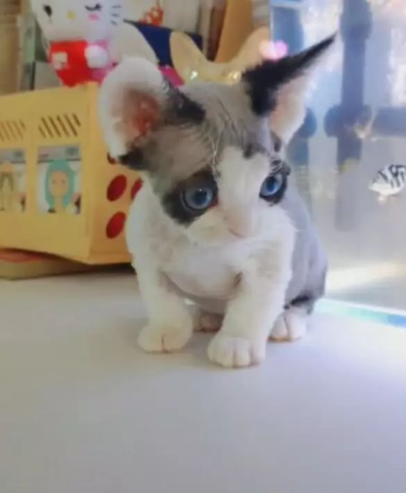 布偶意外生下小猫,主人睡觉都能笑喷了,猫妈却一脸生无可恋!