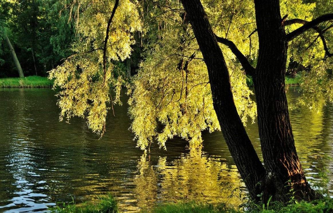 读一首诗李商隐《柳》,柳树承载的悲伤情绪