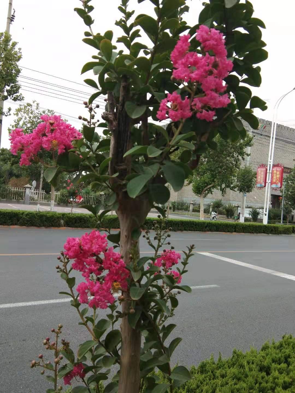 农村庭院和大门两侧,都爱种植一些紫薇树,紫薇树有哪些美好寓意