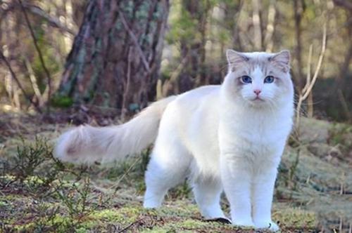 河北网上买英国短毛猫靠谱吗