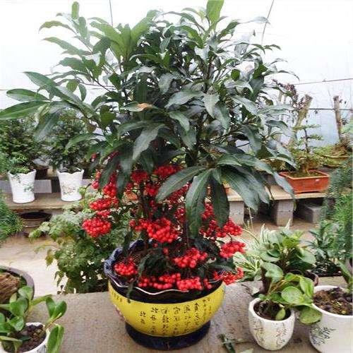 这种植物叫做富贵子,名字好听果实鲜红,富贵子种植技巧