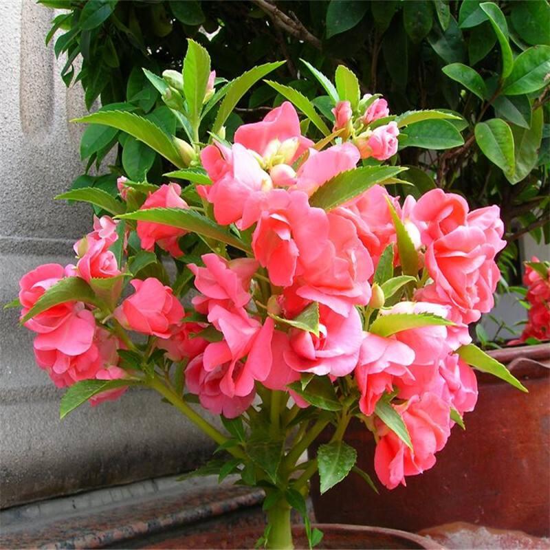 农村庭院都爱种植这些花卉,夏季不怕酷热,而且很容易管理