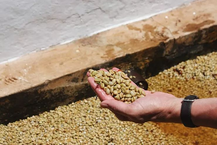 <b>这种特殊发酵法,能赋予咖啡特别风味</b>