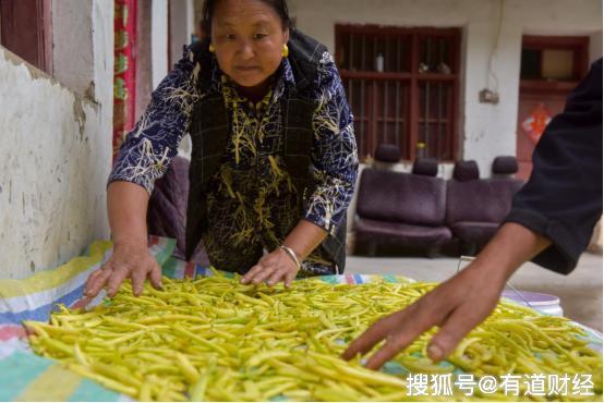 濒危黄金荚变身记:去年种子滞销一吨半,今年却已卖到60元/斤