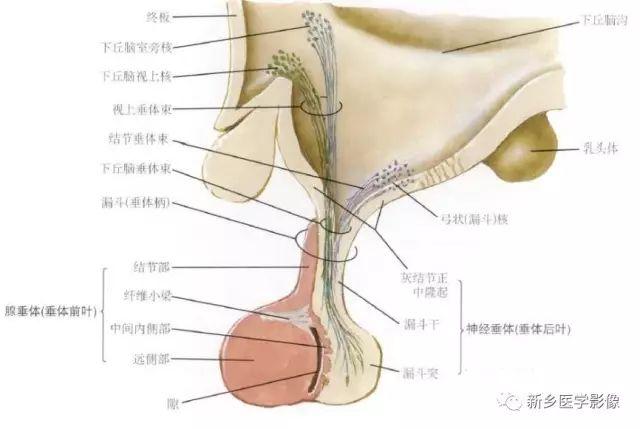 一、垂体微腺瘤   垂体腺瘤<10mm时称为垂体微腺瘤,位于鞍内,多为功能性腺瘤,ct平扫多不能发现垂体内的异常密度,肿瘤很小时mri平扫t1wi可无明显异常信号或为稍低信号,t2wi可为稍低或稍高信号,增强后表现为明显均匀强化的垂体内出现结节状局限性相对