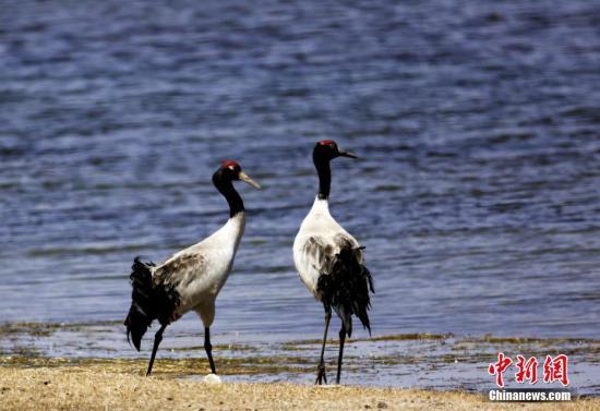 """中国首个黑颈鹤繁殖保护地:环境好坏由野生动物来""""投票"""""""