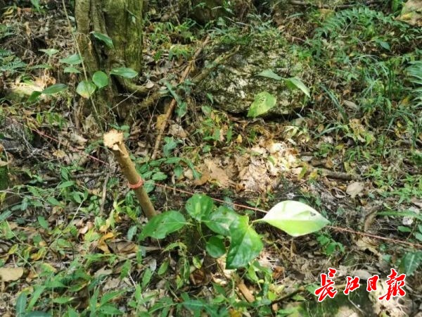 大胆!竟在马鞍山森林公园内张网捕蛇,园方已拆除捕蛇网