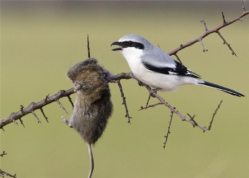 世上最兇殘的鳥:看似可愛實則冷酷無情,2分鐘就能殺死一只老鼠
