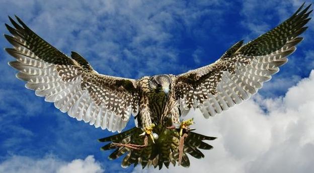 心理测试:觉得哪一只猎鹰最凶猛?测试你能不能慧眼识人!