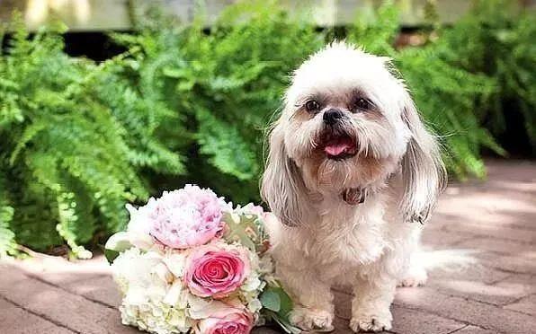 狗狗:教堂婚礼、草坪婚礼 、婚纱照 、婚庆