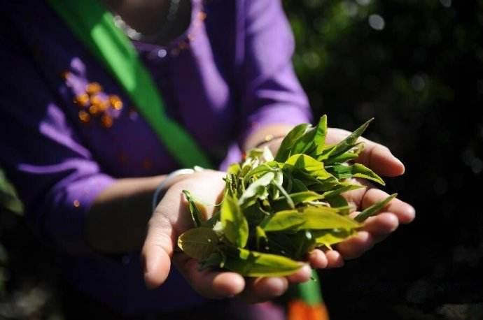 景迈山古树茶的特点有哪些?