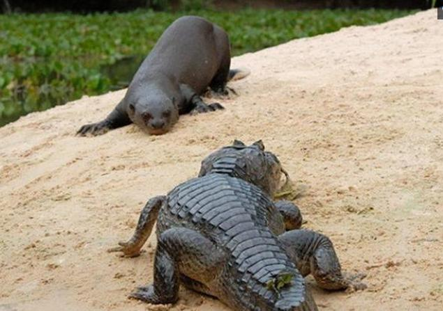 说鳄鱼水下无敌,可一见到它竟没能挺过五分钟