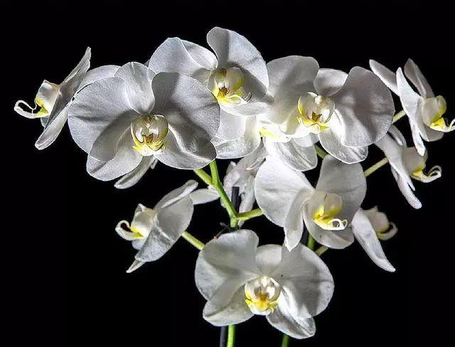 可别再养绿萝了,此花沾土就能活,观叶又赏花,一年能开300天 白兰花