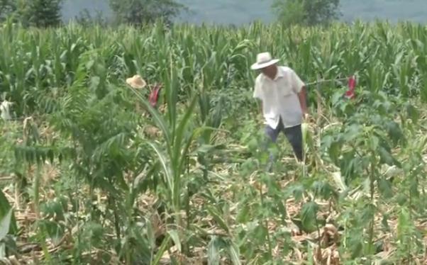 <b>农户玉米地疑遭野猪破坏,面临颗粒无收,林业局:不在补偿范围内</b>