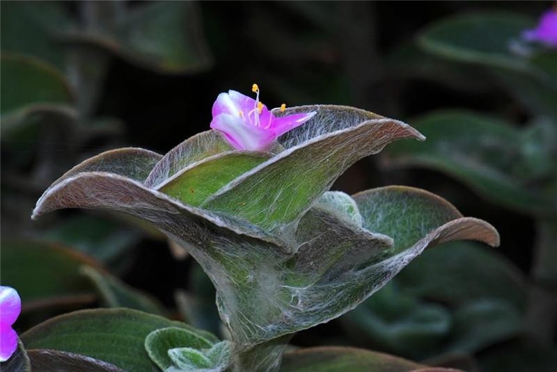 """世界上最聰明的植物,綠葉覆蓋著濃密白毛,植物界的""""蜘蛛俠"""""""