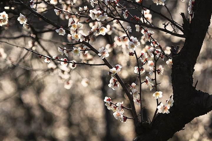 读一首诗李商隐《忆梅》,赏春时突然想家,无端怨恨梅花
