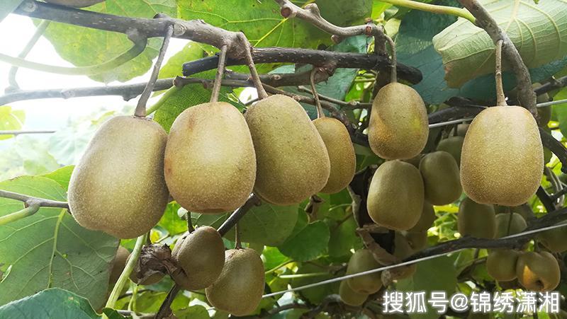 小照片大量湖南南岳茅蓬v照片女子红心猕猴桃上市啦性感女基地同事偷拍水果
