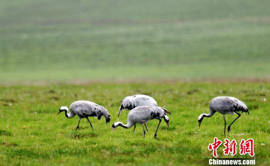 <b>上千只灰鹤在巴音布鲁克草原湿地嬉戏飞舞繁衍</b>