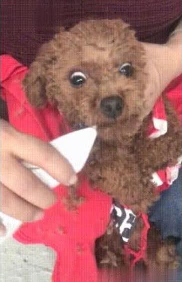 给泰迪狗修毛视频_奶奶亲自给小泰迪剃毛,狗狗被吓得浑身发抖:奶奶你悠着点啊 ...