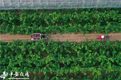 <b>安徽淮北:万亩葡萄园 串起致富路</b>
