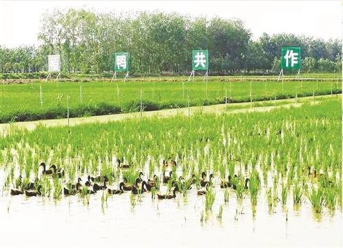 """新沂""""稻路""""开辟生态种植新路径"""
