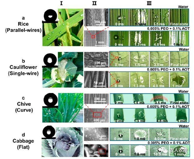 组合助剂增强水滴在条纹(水稻,花菜)和弯曲(葱)结构以及平面对照(甘蓝