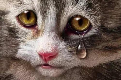 【奇妙の猫咪物语】猫咪突然流眼泪不活泼,猫咪流泪还没精神