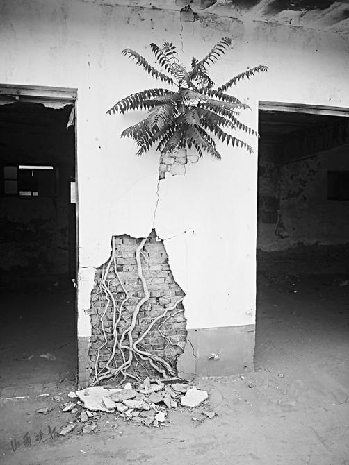 """运城有棵""""树坚强""""枝叶出墙根入墙"""