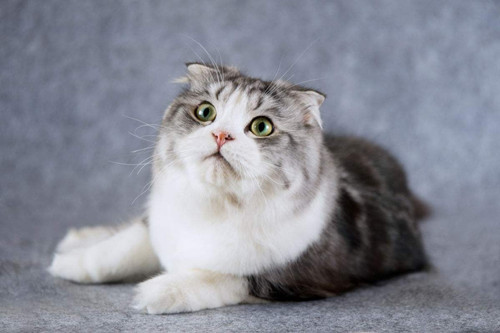 【奇妙の猫咪物语】折耳猫屎不那么臭的办法,折耳猫屎除臭的方法