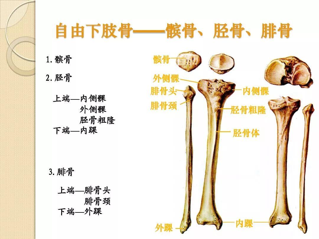 下肢动脉血管解剖图