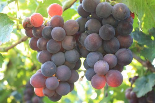 葡萄和提子上的白霜,是农药残留吗?营养师辟谣:带白霜的更营养