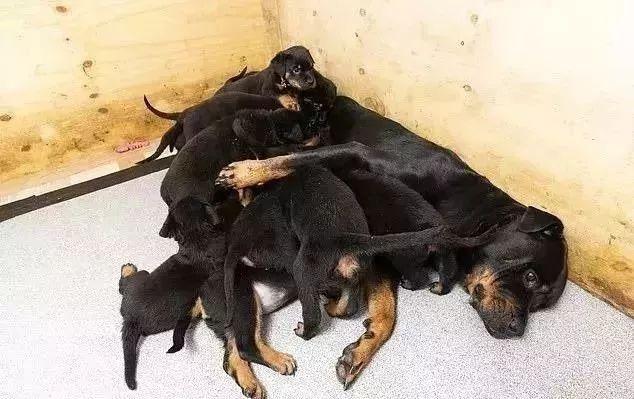 网友家的罗威纳犬,悄无声息的生了第1只,第2只,第3只