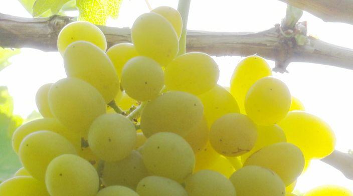 【一证惠五地·百日游天山】吐鲁番的葡萄熟啦,一年更比一年甜!