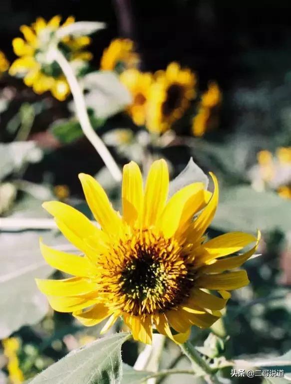 6万亩新疆伊犁的向日葵!天呐这也太美了吧