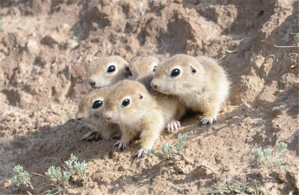 可可西里有種小精靈,像老鼠又似兔子,常與雪鳥住一洞還會造廁所