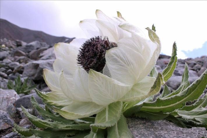 天山雪菊_稀有的天山雪菊在家就能种,种一棵就赚了,每朵都是珍稀品!