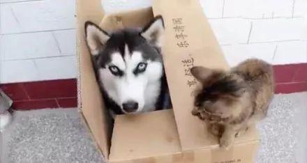 <b>哈士奇霸占了猫窝,结果一觉醒来发现旁边的猫咪,二哈懵逼了...</b>
