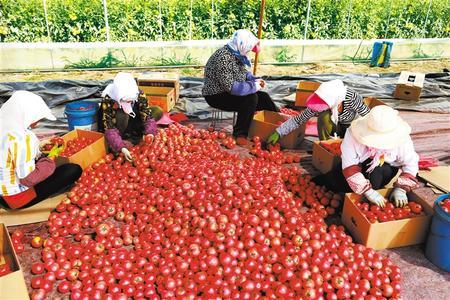 张掖甘州区碱滩镇普家庄村群众正在将收获的西红柿装箱外运