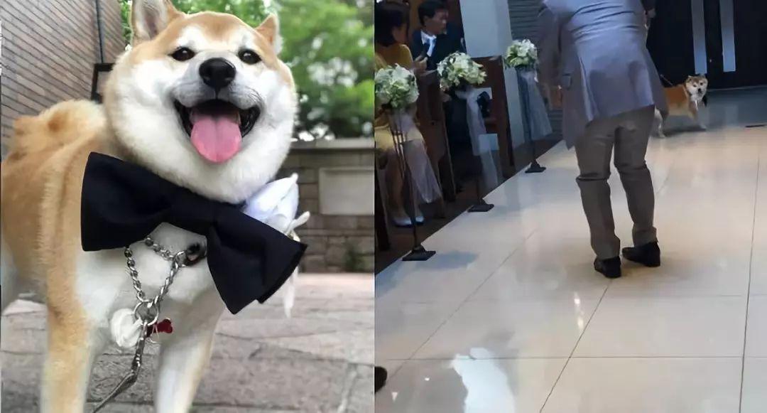 <b>主人结婚上让狗狗送戒指?胆子还真是大啊,结果悲剧了</b>