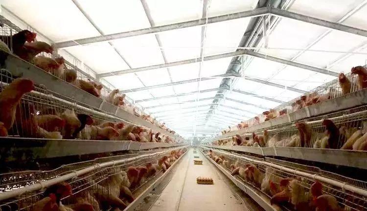 蛋鸡场高温管理细节