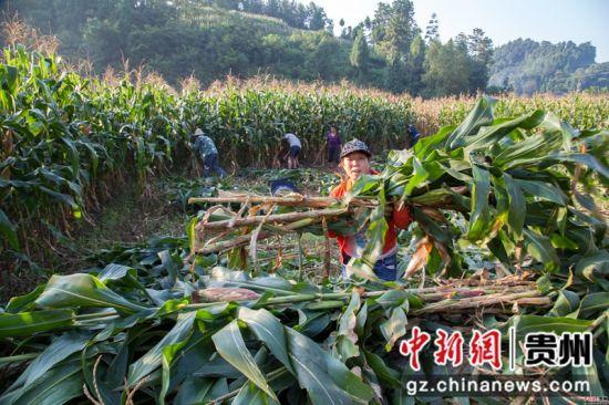 贵州黔西:8.2万亩青贮玉米收割忙
