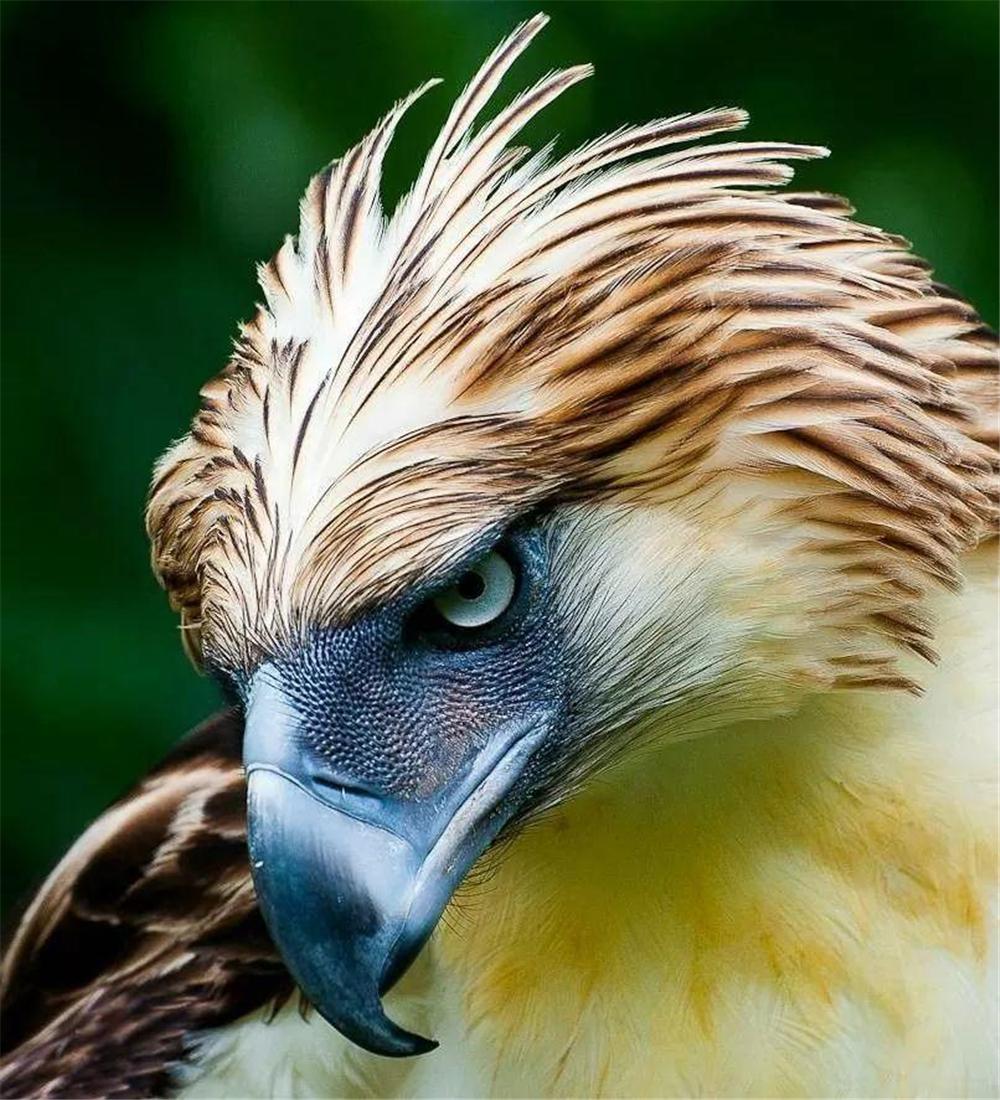 呂宋島藏有世上最兇鳥,爪子有人手大,最恨猴子先把它眼啄瞎再吃