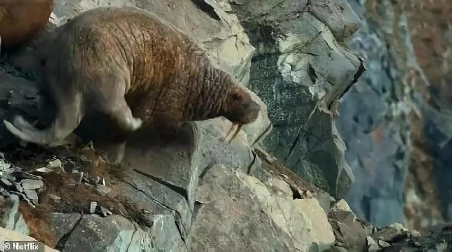 悲伤,海象爬上海岸后从悬崖跌落,一切源于气候变暖海冰消失