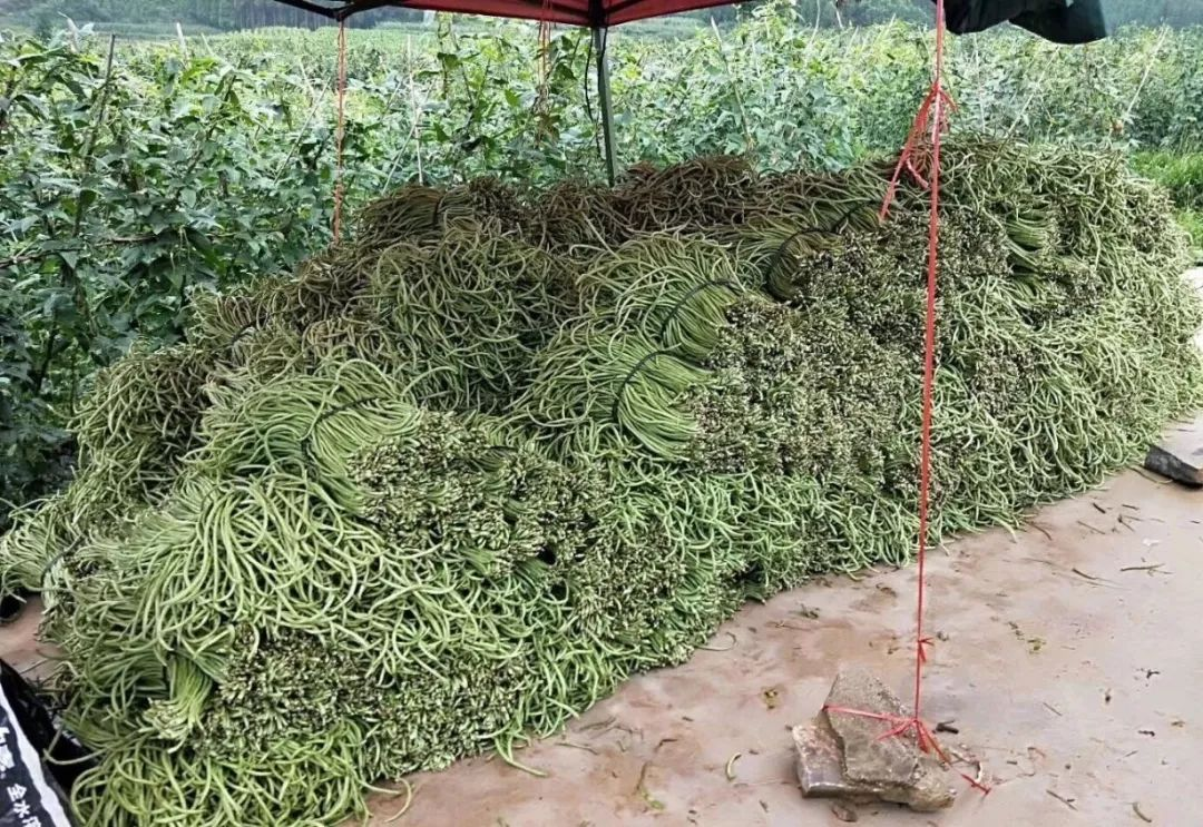 脱贫攻坚 | 89万小额信贷资金助豇豆种植农户脱贫致富