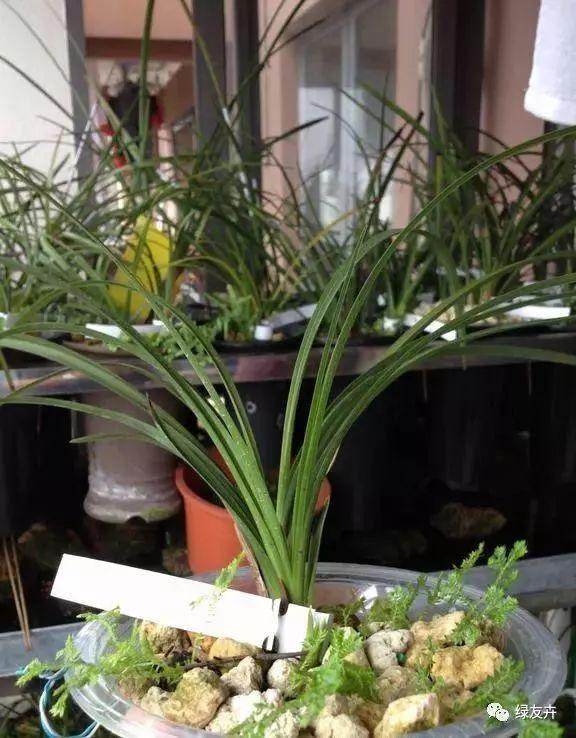 花盆里埋點這個,養花幾十年,莖稈依舊粗壯,從沒有黃葉