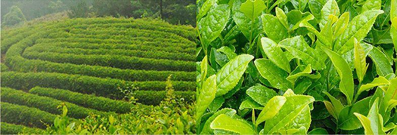 探秘白沙溪2:八十周年标杆之作非遗大师匠心之茶